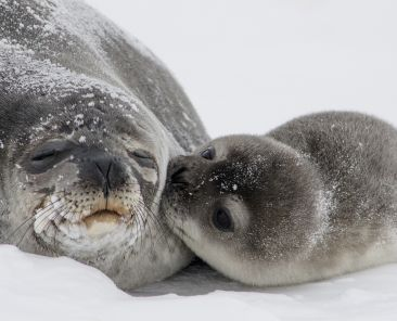 Seal and baby seal