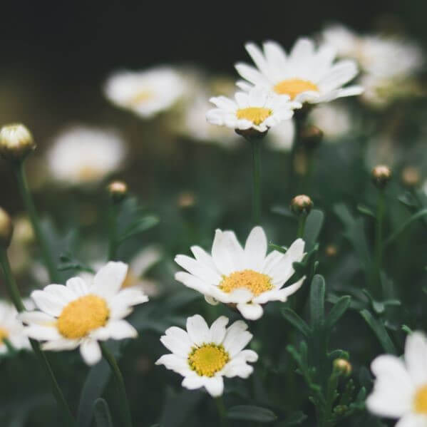 White and yellow daisies growing among green grass